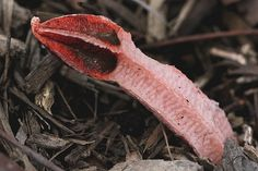 Lysurus mokusin | Australia