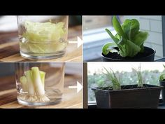 How To Regrow Vegetables From Your Kitchen Potatoes MATERIALS 1 sweet potato 1 yellow potato Toothpicks Mason jar or cups Water INS. Mason Jar Herbs, Mason Jar Herb Garden, Diy Herb Garden, Backyard Vegetable Gardens, Glass Garden, Regrow Vegetables, Easy Vegetables To Grow, Growing Veggies, Planting Vegetables