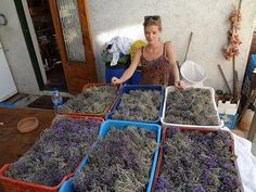 Thyme just harvedsted at The Wild Herbs of Crete