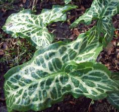 Arum italicum marmoratum - leaves in winter, loses them in summer, just coming out of a frost, March 2014.