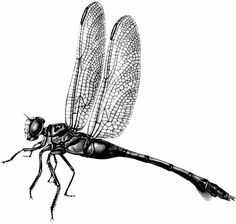 The Graphics Fairy: dragonfly