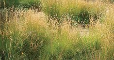 blue grama grass - California native plant; green flowers age to tan by the end of the summer; retains tidy, upright shape even when dormant.