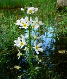 Hottonia: Water violet, an efficient oxygenator in the war against algae