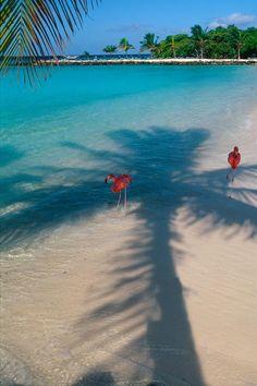 Flamingos in The Shade on a Tropical Beach, Renaissance Island, Aruba