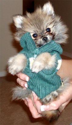 Rocky the Pomeranian Puppy.
