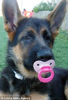 Meet the German Shepherd puppy Karma that thinks it's a human baby   Daily Mail…