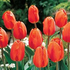 Lighting Sun Tulip. Large, egg-shaped blooms in shades of soft apricot-pink appear in mid spring and gradually change to vivid orange throughout the growing season. At times, you will have both colours at once - See more at: https://www.brecks.com/product/lightning-sun-tulip#.dpuf