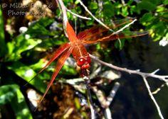 Orange dragonfly resting on a tree branch