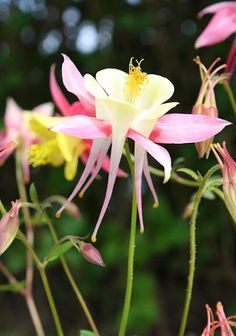 Columbine - These flowers are so dainty and beautiful.