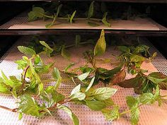 How to dry your own MINT: Mint should be picked in the early morning/afternoon to retain as much of the oil as possible. Mint, like most herbs, should be dried on the lowest setting of your dehydrator or in a very, very low oven. (Better to use a dehydrator if you have one so you can control the temperature.) Drying at higher temperatures will destroy the oils that give the flavor and aroma. It takes a long time to do correctly, but it's worth the effort