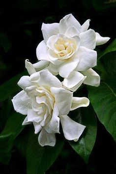 The creamy-white Gardenia carries an intensely sweet fragrance, and is associated with anonymous love and purity. With glossy leaves, these richly-perfumed flowers grow in small clusters, and are used in traditional Chinese medicine for their calming properties as well. Gardenias represent love, purity & refinement - making them an apt choice for wedding bouquets. #WhereFlowersBloom