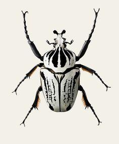 Goliathus orientalis | PUERUTA ONLINE STORE