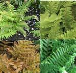 4 Evergreen ferns for pots or shady borders