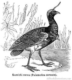 Illustration showing a Horned Screamer (Anhima cornuta), member of a small family of birds, the Anhimidae, which occur only in tropical South America