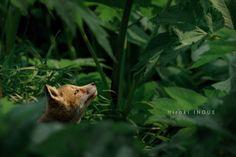 井上浩輝 PORTRAIT KITA-KITUNE (Ezo red fox)