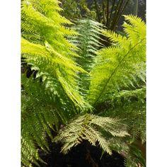Dicksonia antarctica - Ferns - Plant Type - Boething Treeland Farms