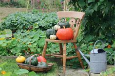 Pumpkin and squash harvest in the vegetable garden
