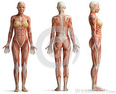 Images Of The Female Human Body . Images Of The Female Human Body The Muscle Structure In Human Body Of Female Anatomy Of Woman Muscle Human Anatomy Female, Human Anatomy Picture, Human Anatomy Drawing, Drawing Body Poses, Female Torso, Female Bodies, Female Muscle, Women Muscle, Female Back Muscles