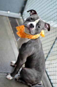 TO BE DESTROYED - 12/07/14 Brooklyn Center -P ***NEW PHOTOS*** My name is BAXTER. My Animal ID # is A1021973. I am a male gray and white staffordshire mix. The shelter thinks I am about 3 YEARS old. I came in the shelter as a STRAY on 11/30/2014 from NY 11212, owner surrender reason stated was STRAY. https://www.facebook.com/Urgentdeathrowdogs/photos/a.611290788883804.1073741851.152876678058553/917665008246379/?type=3&theater