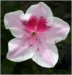 Rhododendron by ~THOM-B-FOTO on deviantART