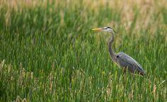 Great Blue Heron, Cheyenne Bottoms, 4/19/15