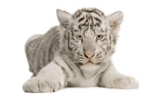Découvrez, Téléchargez, Commentez et Notez ce Fond décran 1920x1200 Tigre Blanc - Wallpaper Abyss