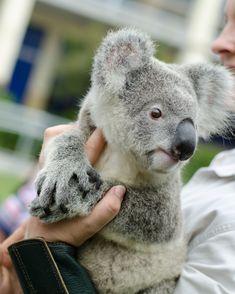 Koala (not a bear)