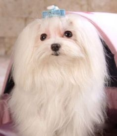 The Maltese is a small breed of dog in the Toy Group. Fluffy Dog Breeds, Toy Dog Breeds, Fluffy Dogs, Small Dog Breeds, Cat Breeds, Maltese Dog Breed, Maltese Puppies, Hypoallergenic Dog Breed, Dog Breed Info