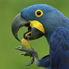 Vẹt Macaw lam Nam Mỹ - Hyacinth macaw (Anodorhynchus hyacinthinus)(Psittacidae) IUCN Red List of Threatened Species : Vulnerable (VU)(Loài sắp nguy cấp) Kinds Of Birds, All Birds, Love Birds, Tropical Birds, Exotic Birds, Colorful Birds, Pretty Birds, Beautiful Birds, African Grey Parrot