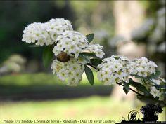 paseando por el Parque Eva Hajduk en estos días de fines de invierno se disfruta la vista de las numerosas plantas de espirea del japonica blanca o también conocida como corona de novia  visite la web de parque eva hajduk en Ranelagh para ver mas imagenes: