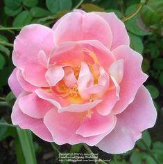 Lady Waterlow ~ Hybrid Tea / Climbing Rose