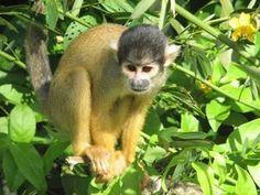 Squirrel Monkey - Mono Ardilla o Titi