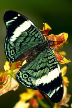Butterfly by carlasisters - Animal Lovers Butterfly Effect, Butterfly Kisses, Butterfly Wings, Green Butterfly, Butterfly Colors, Beautiful Bugs, Beautiful Butterflies, Beautiful Creatures, Animals Beautiful