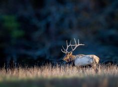 A beautiful elk with a full head of antlers at Cades Cove