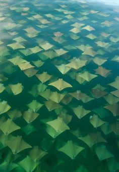 Golden ray migration. Twice a year in the Gulf of Mexico rays migrate. About 10 thousand stingrays swim from the Yucatan Peninsula to Florida in the spring and back in autumn.
