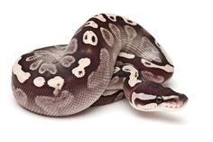 GHI Pastel Butter- Brock Wagner Reptiles