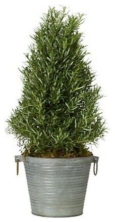 Rosemary Tree.  I think every kitchen should have one of these!