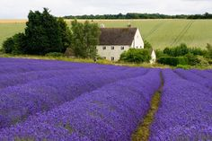 Lavender field near the Arch Abby of Pannonhalma. levendula pannonhalma -