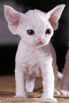 Devon Rex Kitten. This is the kind of cat I have :) Looks like Yoda as a kitten, and ET as an adult if you hold the ears back!