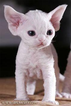 Британская короткошерстная кошка - #devonrex -Tops Tiny Cat Breeds at Catsincare.com!