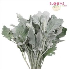 Wholesale Dusty Miller - Blooms by the Box