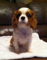 Daniel is an adoptable Cavalier King Charles Spaniel Dog in Sallisaw, OK. THIS IS NOT A FOREVER FRIENDS RESCUE, CONTACT PERSON LISTED IN THIS BIO. 'Daniel' 9wk old male Cavalier. He will need a specia...