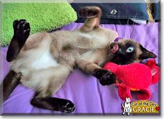Read Gracie the Siamese mix's story from Meaford, Ontario, Canada and see her photo at Cat of the Day http://CatoftheDay.com/archive/2011/September/07.html .