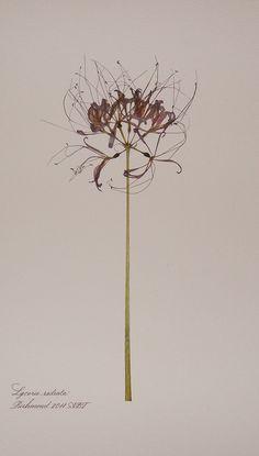 botanicals .  Lycoris radiata . via Anne Blackwell Thompson, Blackwell Botanicals