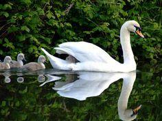 Beautiful Swan and chicks