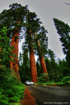 USA - California - The Giant forest