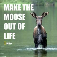 this is perfect Moose Pictures, Funny Animal Pictures, Moose Pics, Moose Decor, Moose Art, Beautiful Creatures, Animals Beautiful, Funny Moose, Racing Extinction