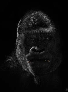 Gorilla Portrait by Christian Meermann, via 500px