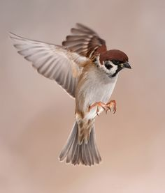 Flying Tree Sparrow by Henny Egdom van on 500px
