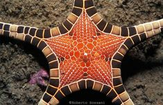 STARFISH .... iconaster longimanus ...............   . Alor Is. (Timor) ...... Indonesia  .......  . photo .. Roberto Sozzani
